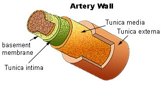 artery-wall-diagram.jpg