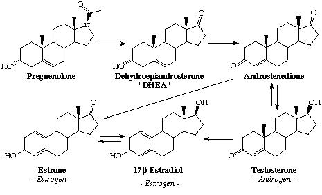 testosterone-synthesis.jpg